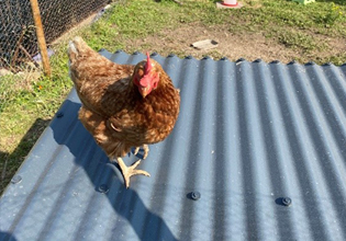 Chicken Coop made from Cladco Roofing sheets